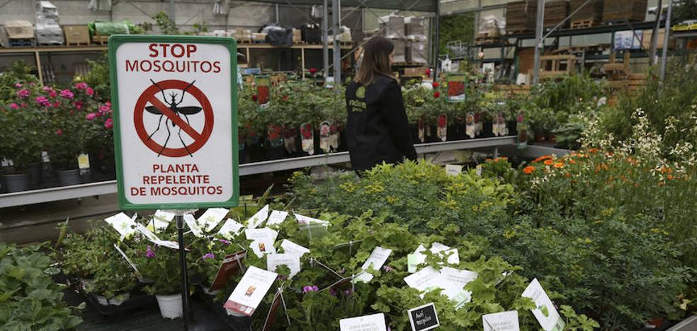 Plantas antimosquitos: diez claves para utilizarlas de manera eficaz