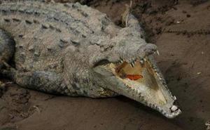 Un cocodrilo mata en Etiopía a un pastor protestante que bautizaba en un río