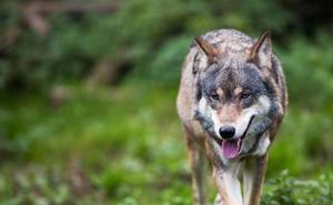 Demandan al Gobierno Vasco ante el TSJPV por no proteger a los lobos