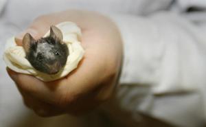 Una terapia génica restablece la función de la mano después de lesión de la médula espinal en ratas