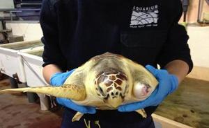 La tortuga 'Donosti' vuelve al mar tras recuperarse de sus heridas