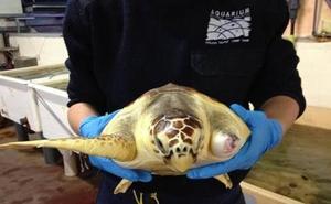 La tortuga 'Donosti' ya nada en La Concha, pero de Oropesa