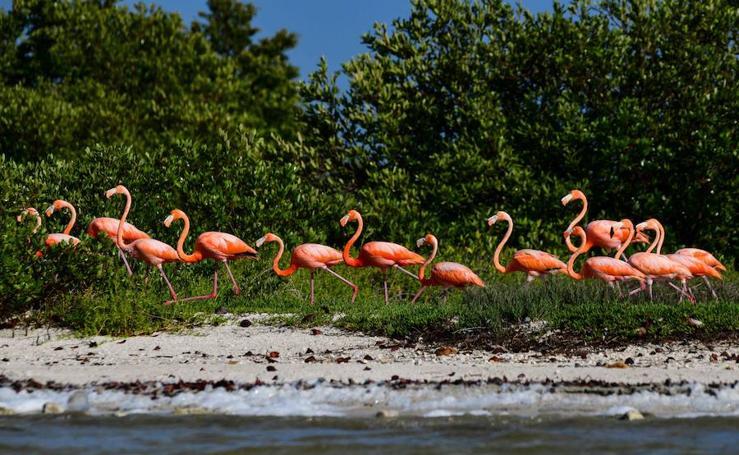 Los flamencos rosados se hacen con la Reserva de Biosfera Río Lagartos