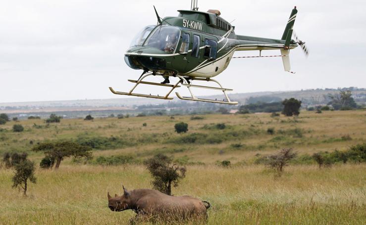 Translocación de rinoceronte