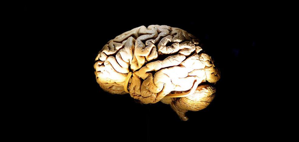 Investigadores españoles descubren un mecanismo genético clave en el desarrollo del cerebro