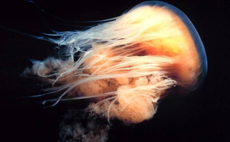 Las medusas más llamativas del mundo