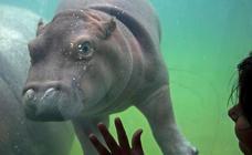 La nueva estrella del zoológico de México es un bebé de hipopótamo