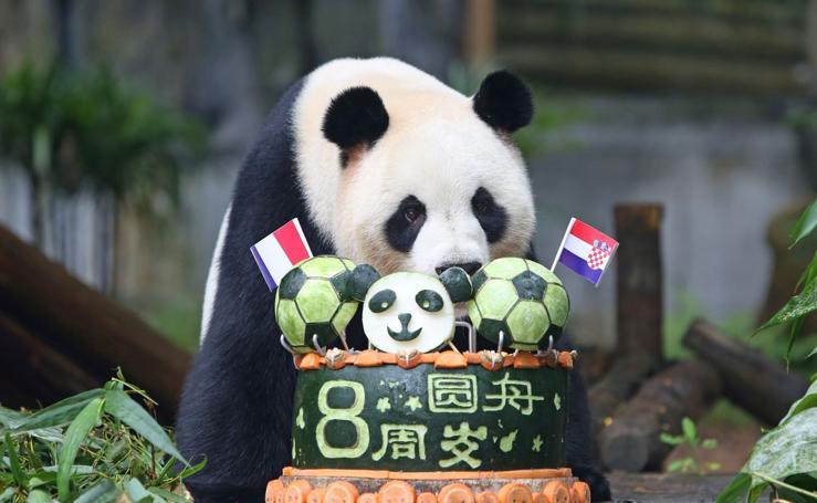 El cumpleaños del panda chino Ai Bao