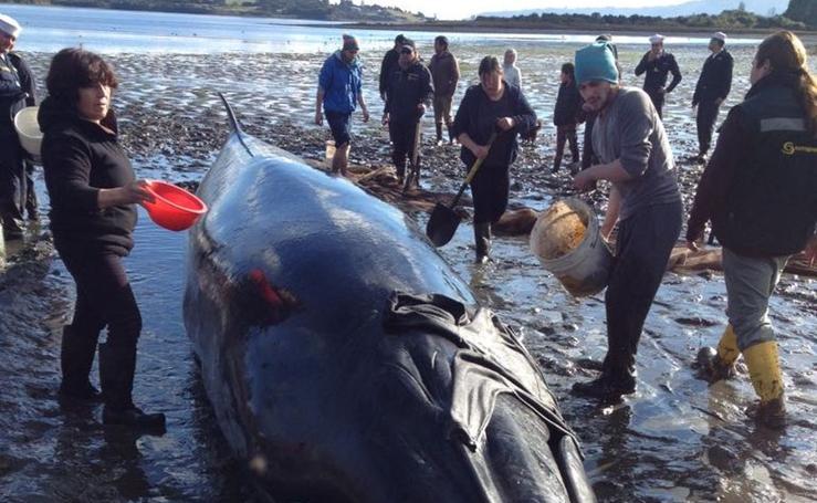 Liberan a una ballena varada