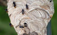 El picotazo de avispa asiática solo es mortal en alérgicos y enfermos