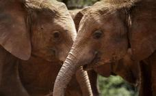 El peligroso rescate de unos elefantes a su cría