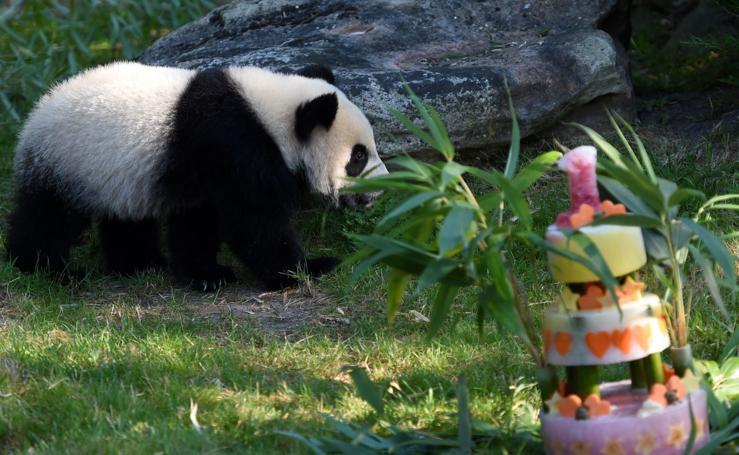 El panda Yuan Meng cumple un año