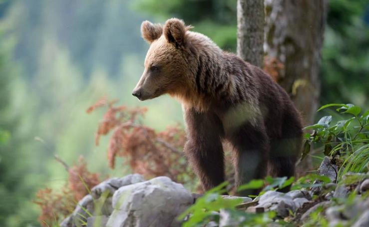 La población de osos de Eslovenia está en auge