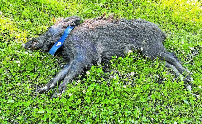 Se amplía la temporada y las modalidades de caza de jabalí