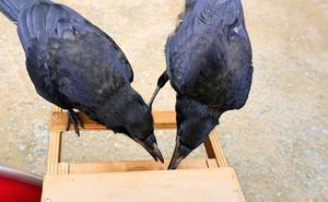 Un parque temático francés usa cuervos para recoger basura del suelo