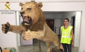 Incautan un león disecado que se vendía por 6.000 euros en internet