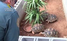 Incautadas 1.100 tortugas y 750 huevos de 62 especies preparadas para tráfico ilegal