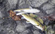 Investigan un posible vertido tras aparecer peces muertos en la regata de Amezketa, en Alegia