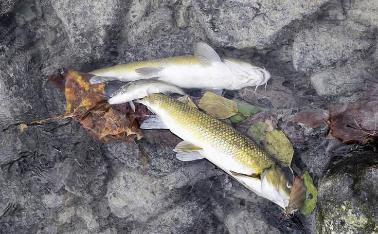 Aparecen peces muertos en una regata de Alegia