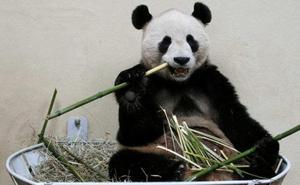 Yang Yang, la osa panda que crea obras de arte