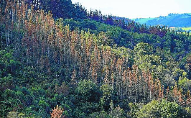 «La situación es muy grave, miles de hectáreas de pinos están secas»