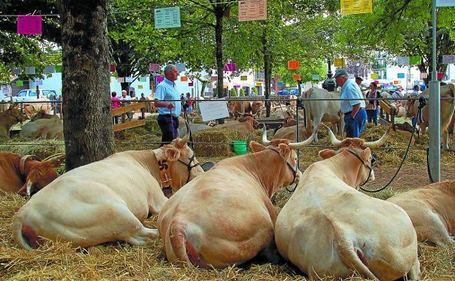 El ganado vacuno pirenaico vuelve a Elizondo