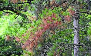 Talas y óxido cuproso para salvar al pino insigne