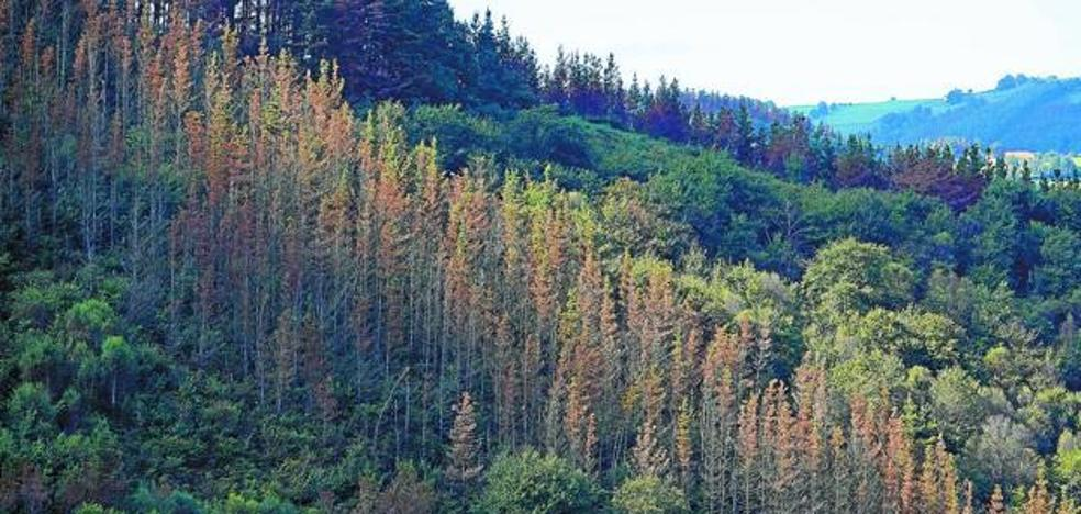 EHNE Gipuzkoa pide que se tomen nuevas medidas para salvar los pinos enfermos