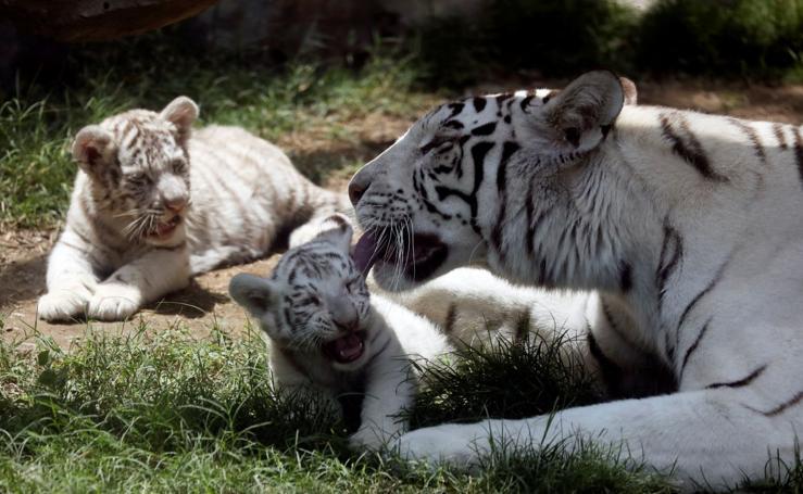 Tres felices tigres