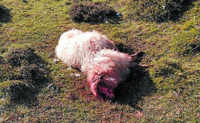 Pastores a la caza de perros