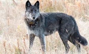 Un cazador mata a la loba más famosa del parque de Yellowstone