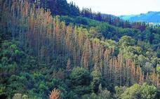El Gobierno Vasco mantiene que se fumigarán los pinares enfermos al ser «más eficaz que la poda»