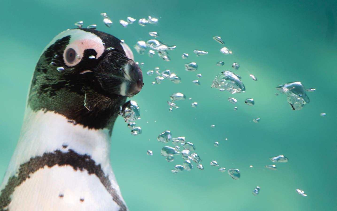 Roma estrena pingüinos africanos
