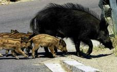 Polonia sacrificará 200.000 jabalíes para evitar el avance de la peste porcina