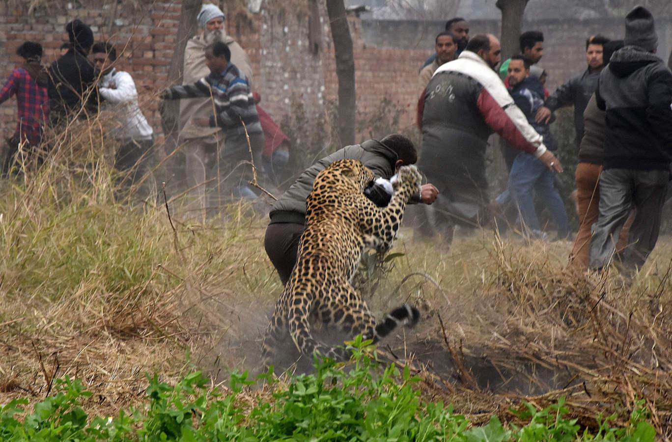 Un leopardo suelto en India