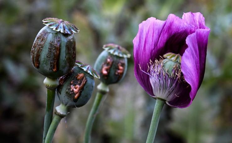 El opio de Birmania