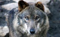 El lobo, especie amenazada en Euskadi pero no en peligro de extinción