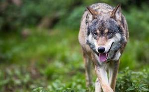 Los agricultores rechazan incluir el lobo como especie amenazada en Euskadi y los ecologistas lo apoyan