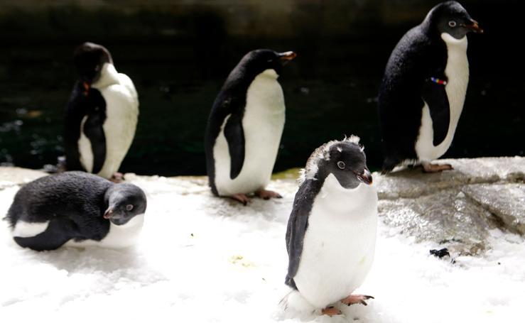 Pingüinos latinoamericanos