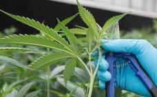El Supremo tumba la ordenanza sobre clubes de cannabis de Donostia