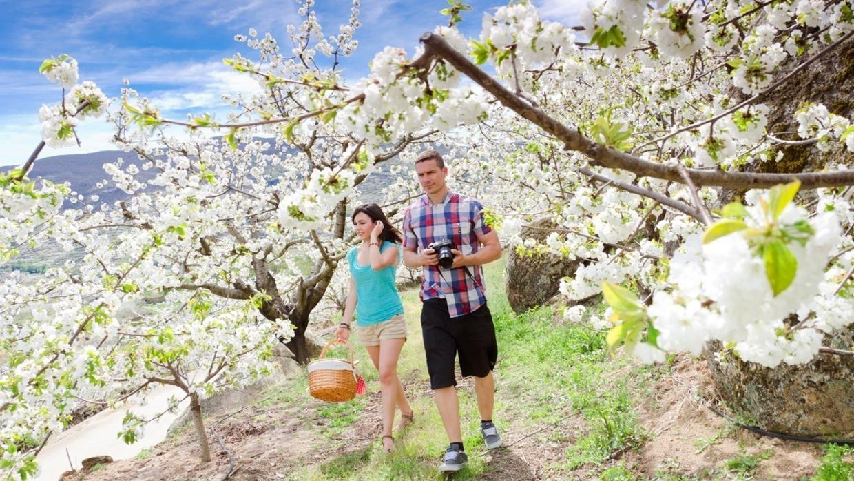 Cerezos en flor en el Jerte: todo lo que debes saber