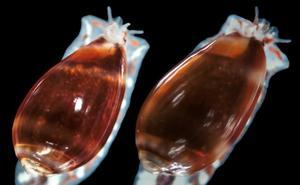 Un nuevo caracol marino llamado «Metoo»: su color gira al violeta en alcohol