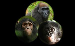¿Cómo reaccionan los simios salvajes ante la presencia de unos artefactos que no han visto antes?