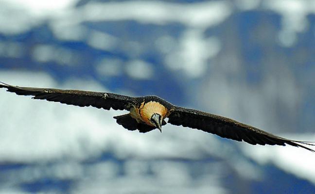 El parketxe invita a acercarse a las aves carroñeras