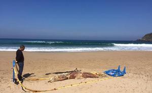 Aparece un delfín descompuesto en la Zurriola