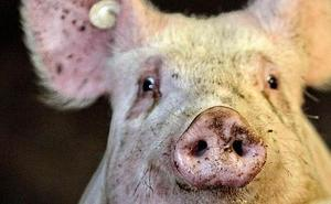 'Reactivan' el cerebro de un cerdo tras cuatro horas muerto
