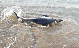 Hallan dos delfines en la playa de Santiago de Zumaia