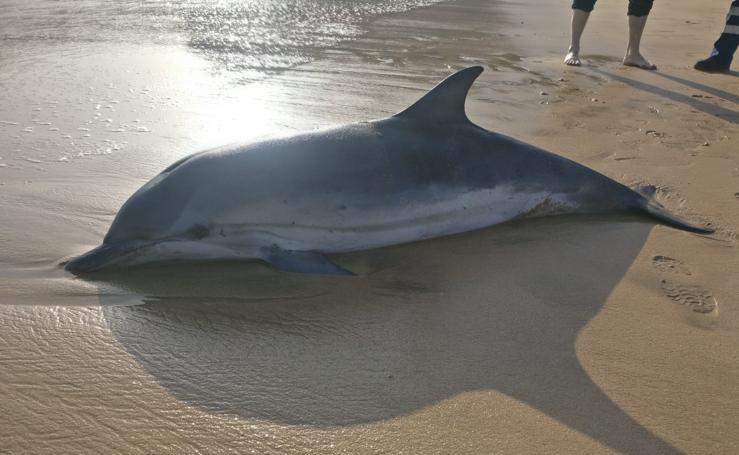 Aparecen dos delfines varados en la playa de Santiago en Zumaia