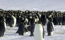 Catástrofe reproductiva en una de las mayores colonias de pingüinos de la Antártida