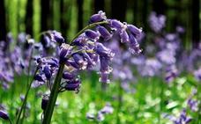 El bosque que concentra el mayor número de jacintos púrpura del mundo